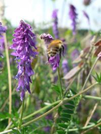 Bumblebee Workers, Bombus Pascuorum