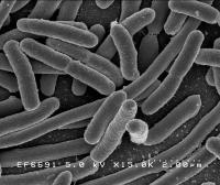 <I>E. coli</I> Bacteria