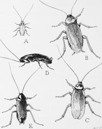 Cockroach Species