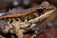 Imperiled Wood Frog