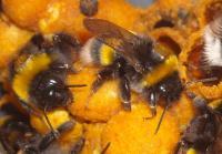 Bumblebee Workers