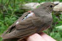 Songbird (2 of 3)