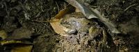 Alaska Wood Frog Prepares Hibernacula