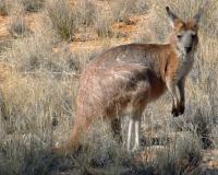 Hill Kangaroo, <i>Macropus robustus</i>