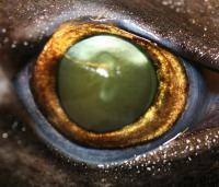 Lanternshark Eye