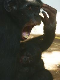 Female Bonobo Yawning