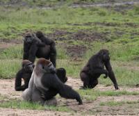 Gorillas, Ebola Study