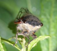 Tettigades Cicada