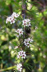 <I>Kunzea ericoides</I>