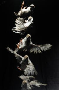 Falling Chukar Chick