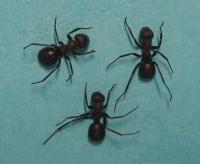 Medicinal Ants