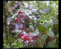 Sunbird <i>Cyanomitra oritis</i> during Nectar Foraging on <i>Impatiens frithii</i>
