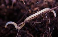 <i>Enchytraeus albidus</i>