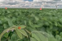 Asian Lady Beetle in a Soybean Field