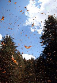 Monarchs Take to the Sky, Mexico