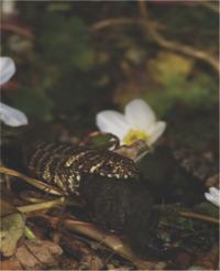 Snake Eating Amphibian