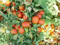 Wild Tomato Species Focus of Antioxidant Study