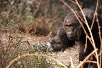 Chimpanzee (3 of 3)