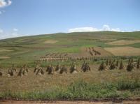 Modern-Day Barley Harvest