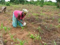 Togo Woman Applying Fertilizer