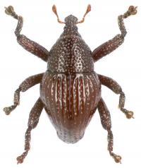<I>Trigonopterus attenboroughi</I>