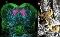 Mushroom Bodies in a Scorpion's Brain