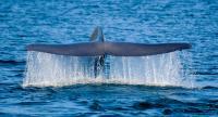 Blue Whale, Flukes
