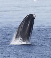 Bowhead Whale (1 of 2)