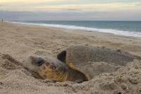 Loggerhead Sea Turtle 1