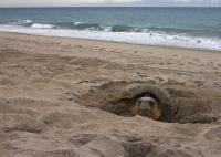 Loggerhead Sea Turtle 2