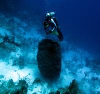 Caribbean Giant Barrel Sponge