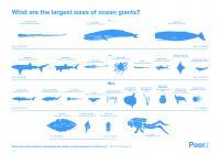 Marine Megafauna Infographic