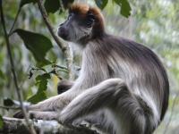 Red Colobus Monkey in Forest near Kibale, Uganda