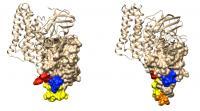 Bt Toxins Act Like Molecular Keys