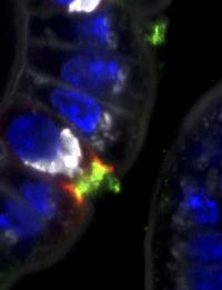 PI3-K in the Intestine