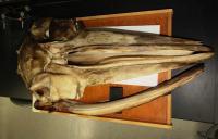 Fin Whale Skull