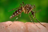 Mosquito-Borne Virus Mimics Rheumatoid Arthritis