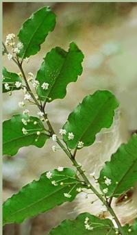 Amborella Leaves