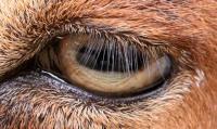 Goat Eyelashes