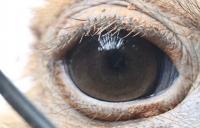Ostrich Eyelashes