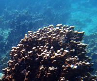 Porites Coral from Abu Dhabi Reefs