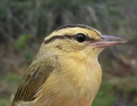 Migratory Songbird from Queen's University Study June 08