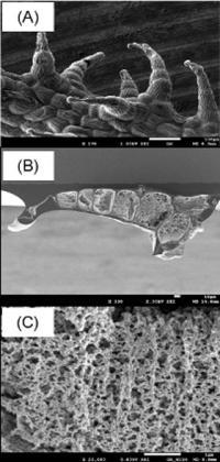 SEM of <i>Lychnis sieboldii</i> Leaf Hairs