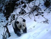 Panda through the Snow