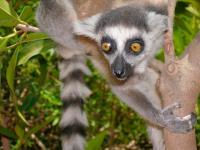 Crowley Lemur Teeth