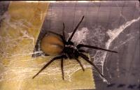 <i>Kukulcania hibernales</i> on Web