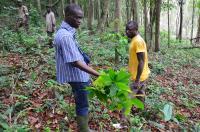 Illegal Cocoa Farm