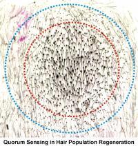 Quorum Sensing in Hair Population Regeneration