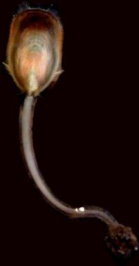 <i>Lingula anatina</i>