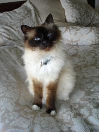 Birman Cat that Exhibits FARS